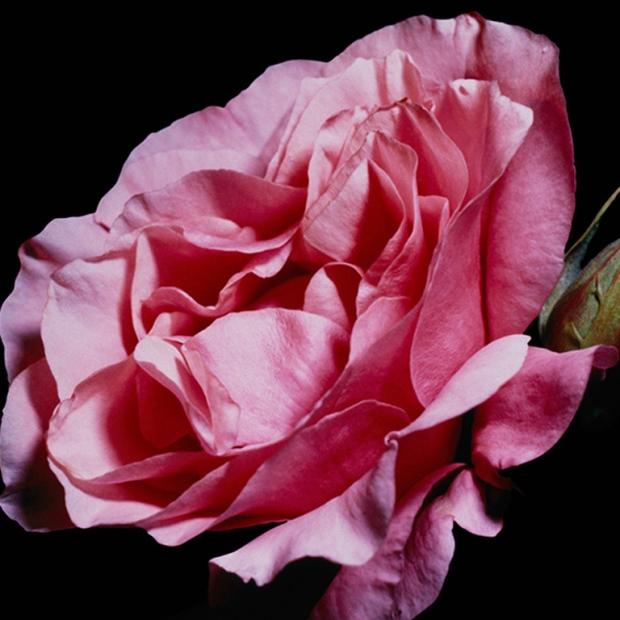 Rose-De-Mai